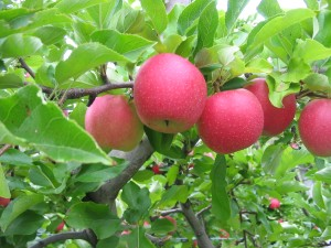 Tougas apples