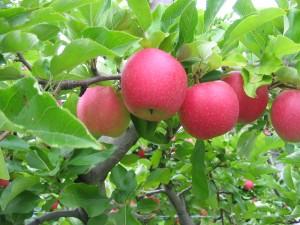 Tougas apples