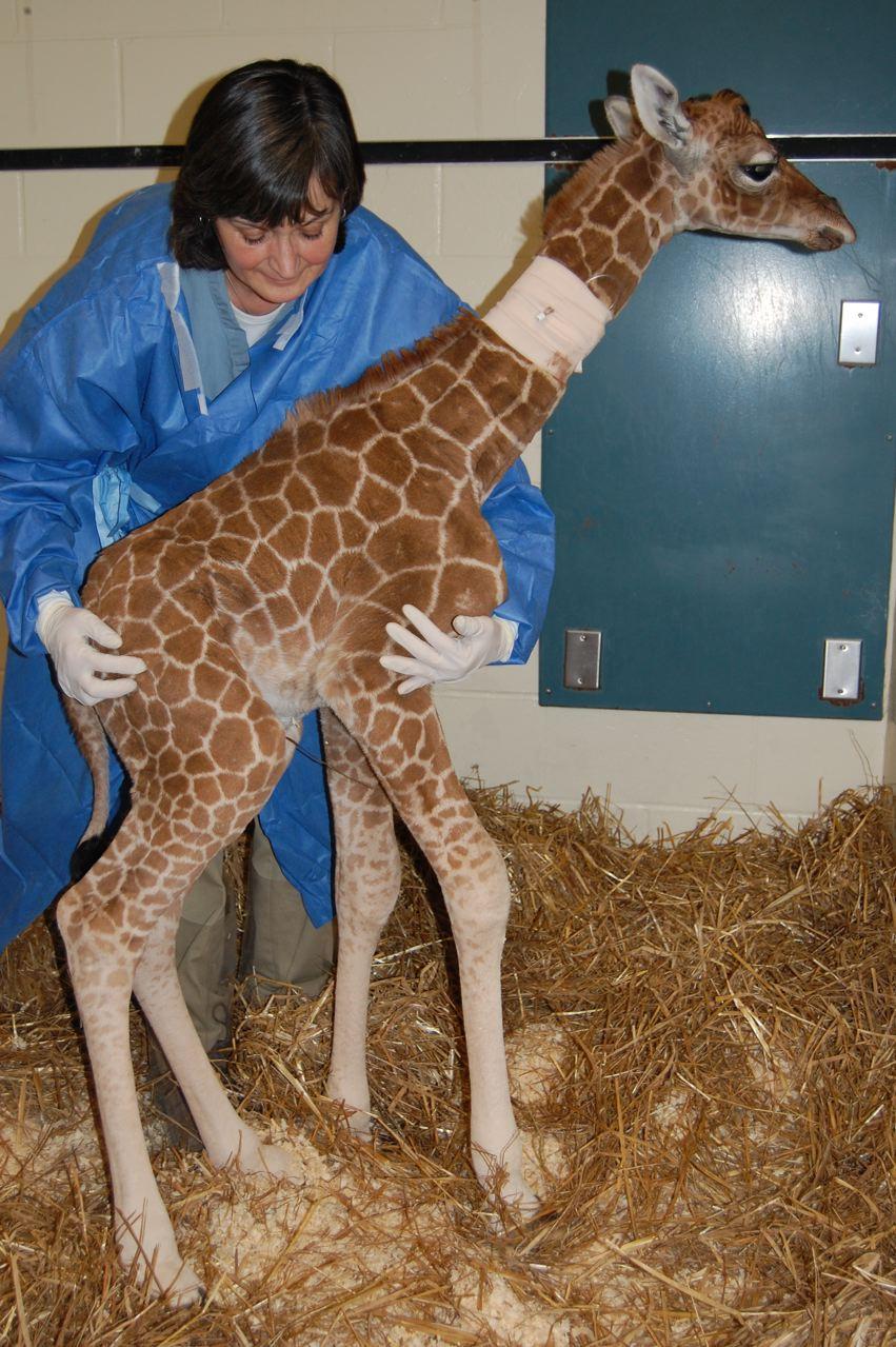 Giraffe Symbolism Giraffe Meaning Giraffe Totem Giraffe