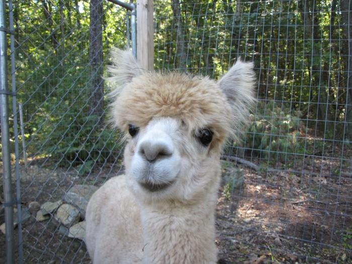 alpaca boy