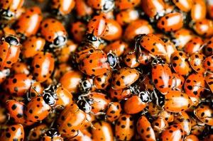 ladybugswarm