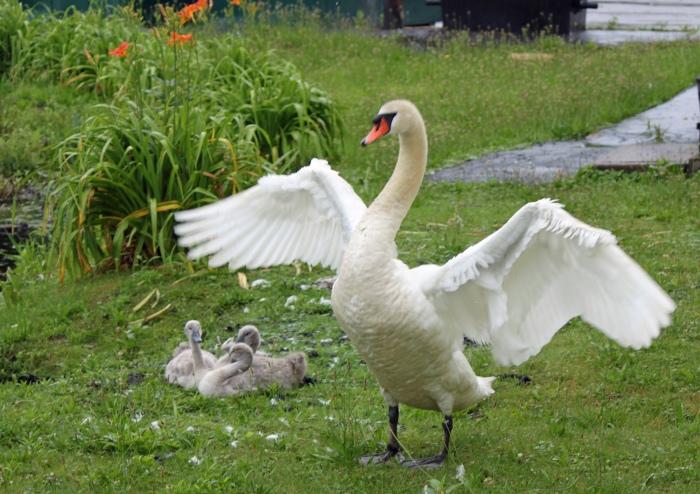 SwanWings